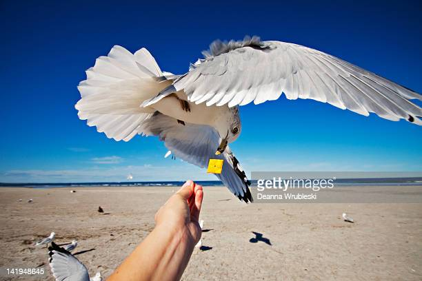 Seagull flying and eating cracker out of hand
