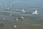 Seagull flying at Bangpu Thailand