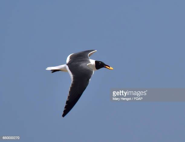 Seagull flying in sky with cracker