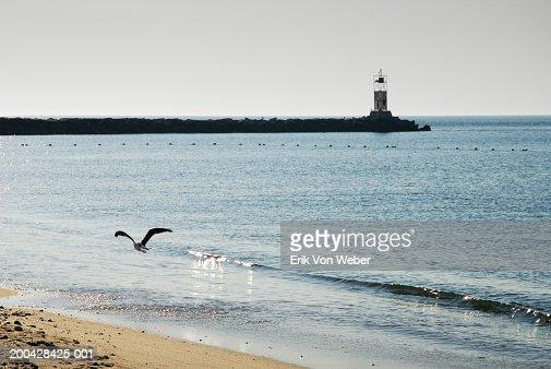 Seagull (Laridae) flying over beach, lighthouse in background