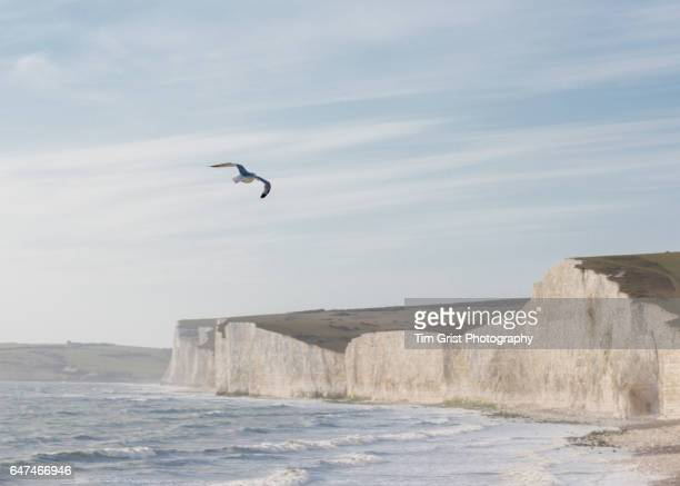 Seagull flying The Seven Sisters Chalk Cliffs