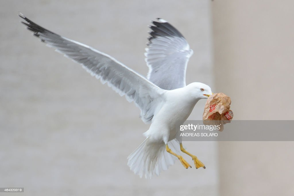 A seagull grabs a piece of paper during Pope Francis general audience at St Peter's square on January 22, 2014 at the Vatican. AFP PHOTO / ANDREAS SOLARO