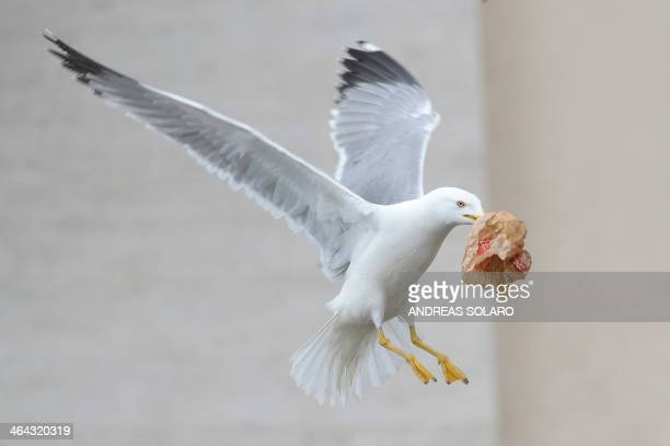 A seagull grabs a piece of paper during Pope Francis general audience at St Peter's square on January 22 2014 at the Vatican AFP PHOTO / ANDREAS...