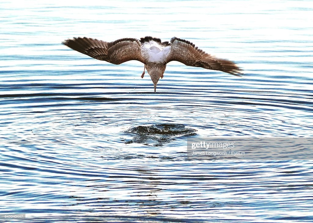 Seagull Hunting At Sea