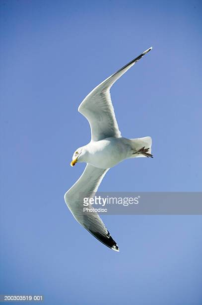 Seagull in flight against blue sky, low angle view