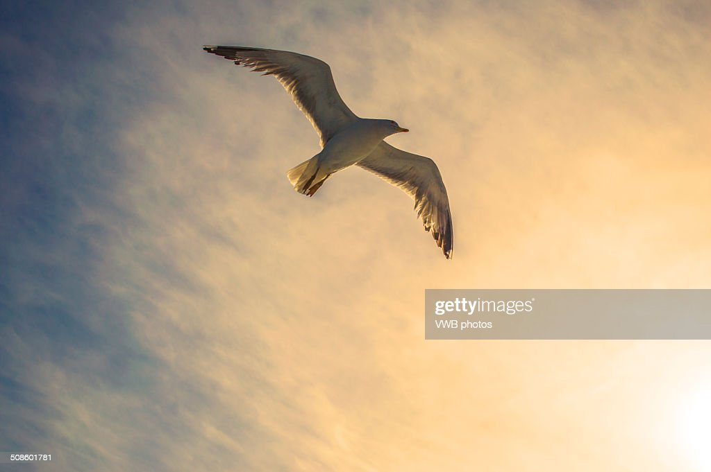Seagull in flight at sunset, Greece : Foto de stock