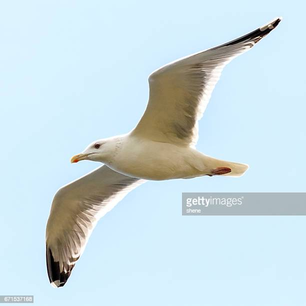 Seagull in Flight from bottom view