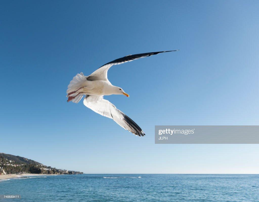 Seagull In Flight Laguna Beach California United States North - Is united states north america
