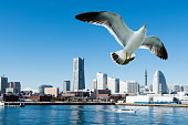 A seagull in flight over Yokohama City, Japan. The bird is flying against blue sky over the skyline of the city. There are the Landmark Tower, the red brick warehouses, hotels, a communications tower,