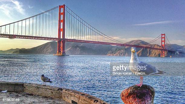 Seagull In Front Of Golden Gate Bridge Over River Against Sky