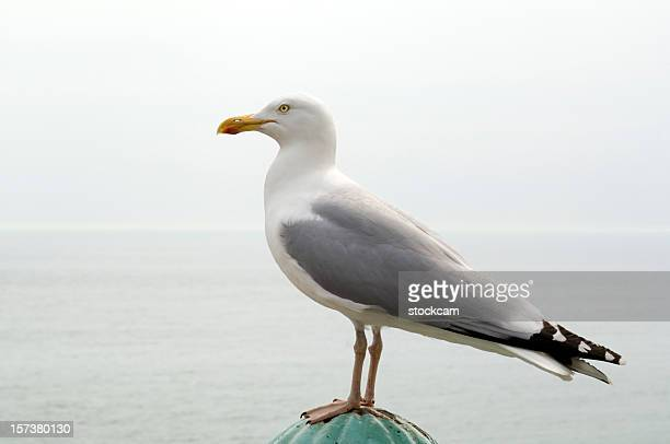 Seagull in front of the sea