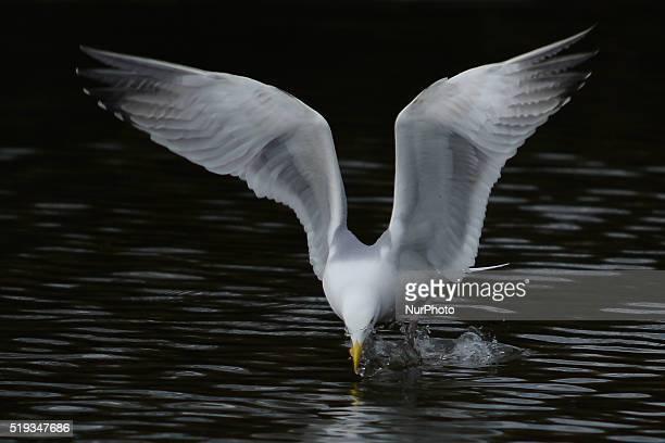 A seagull in St Stephen's Green park in Dublin's city center area Dublin Ireland on Tuesday April 5 2016