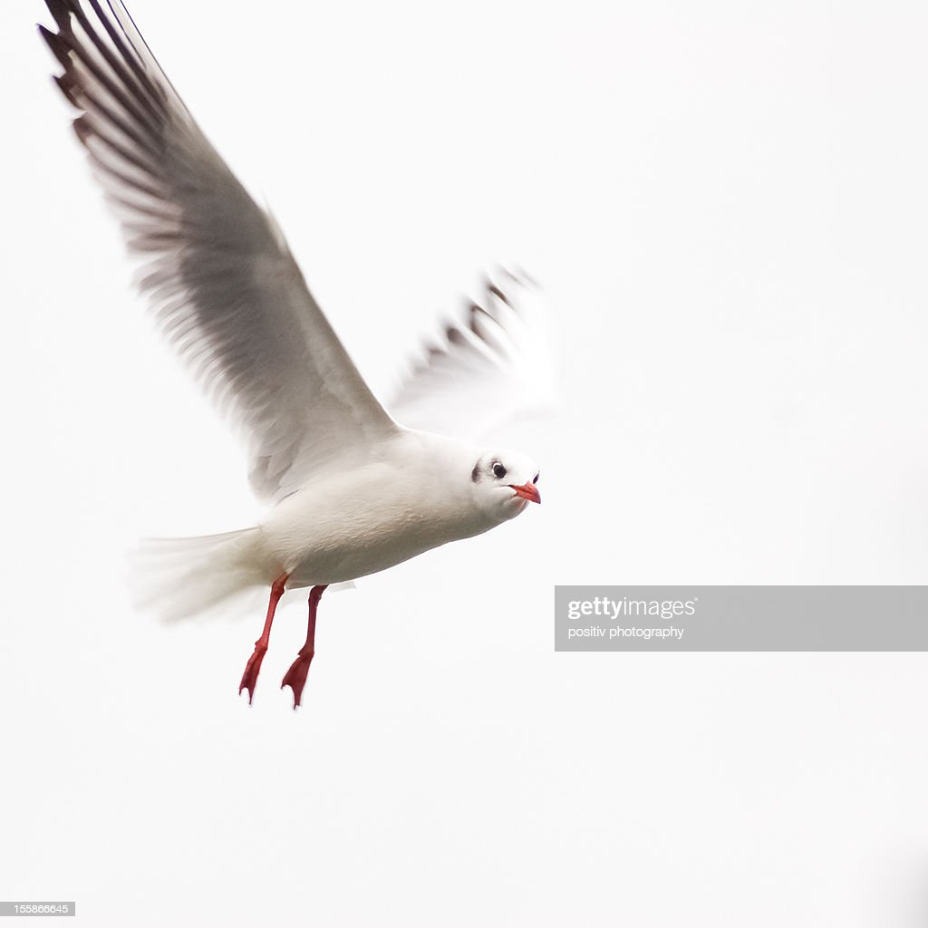 Seagull in the air looking at me : Stock Photo