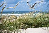 A gull flies through the dunes