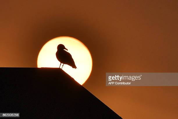 A seagull is seen in silhouette in front of the sun on October 16 2017 in Quiberon western France as the sky turned a yellowochre colour due to sand...