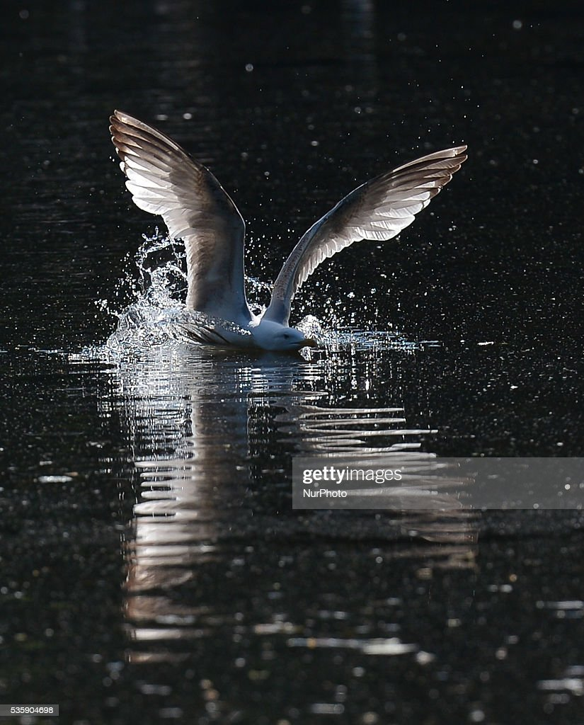 A seagull lands on a pond in St Stephen's Green park, in Dublin's city center area. Dublin. On Monday, 30 May 2016, in Dublin, Ireland.