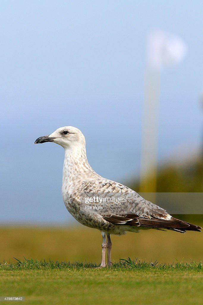 A seagull looks on during the second round of the Acorn Jersey Open played at La Moye Golf Club on June 5, 2015 in St Helier, Jersey.