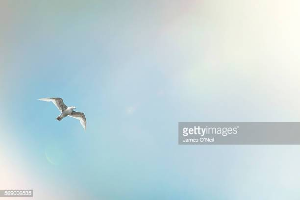 seagull mid flight on blue sky and sun flare