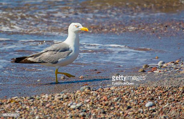Seagull on the beach on June 28 2015 in Lahaina Rhodes Dodecanes Greece
