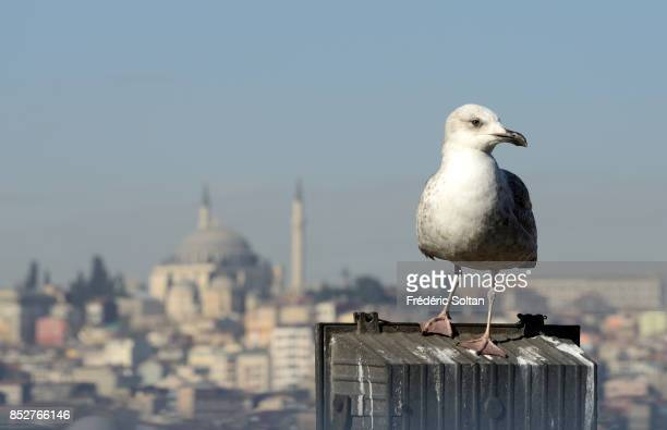 A seagull on the European bank of Bosphore on October 14 2014 in Istanbul Turkey