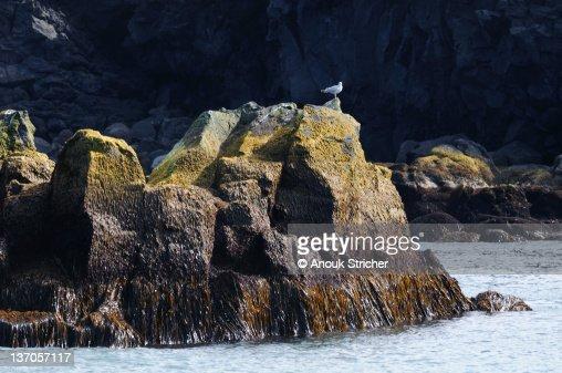 Seagull on volcanic rock