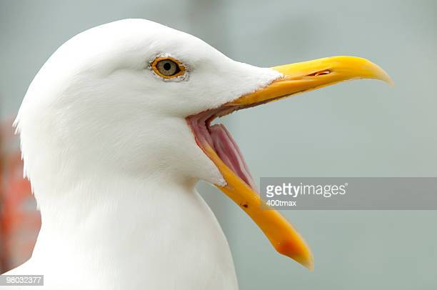 Seagull opening its beak