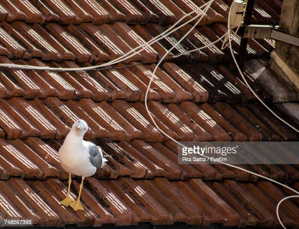 Seagull Perching On Rooftop