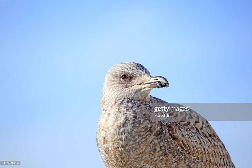 Seagull : Stock Photo