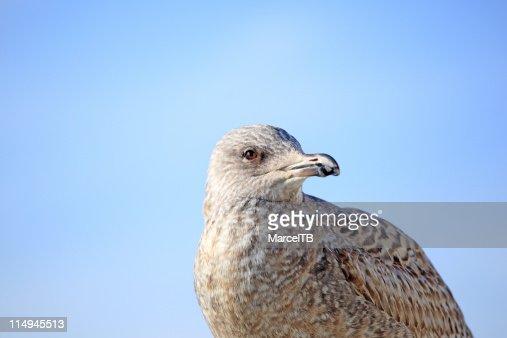 Seagull : Stock Photo