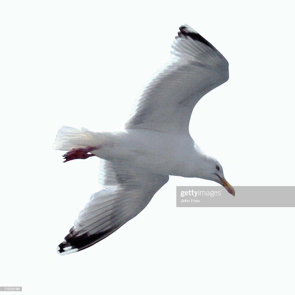 sea-gull : Stock Photo