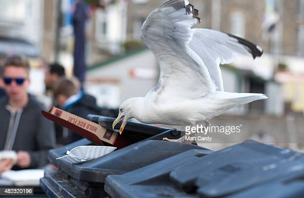 A seagull raids a litter bin at St Ives on July 29 2015 in Cornwall England Recent attacks by herring gulls on people and their pets has led British...