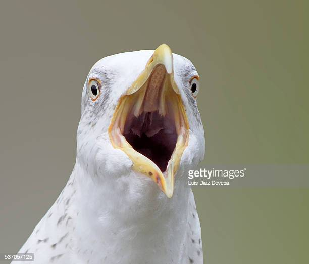 Seagull screaming