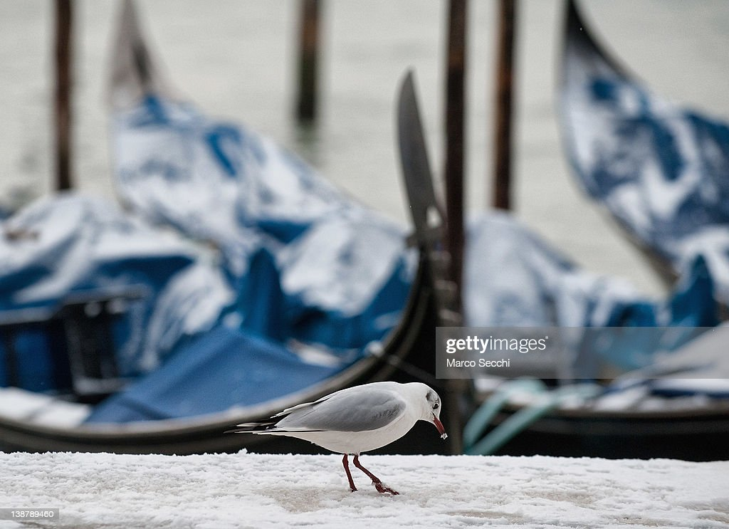 A seagull searches for food in the snow in front of a Gondola in St Mark's Basin on February 12, 2012 in Venice, Italy. Italy, like most of Europe, is experiencing freezing temperatures, with the Venice Lagoon freeezing for the first time in over 20 years.