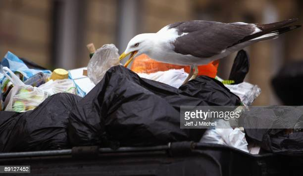 A seagull sits on top of refuse as rubbish starts to build up on the streets of Edinburgh as bin men continue a work to rule policy on July 21 2009...