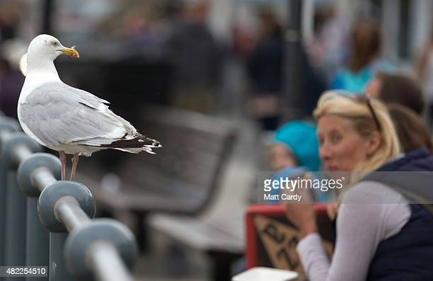 A seagull squabble watches as people eat takeaway food on the seafront at St Ives on July 28 2015 in Cornwall England Recent attacks by herring gulls...