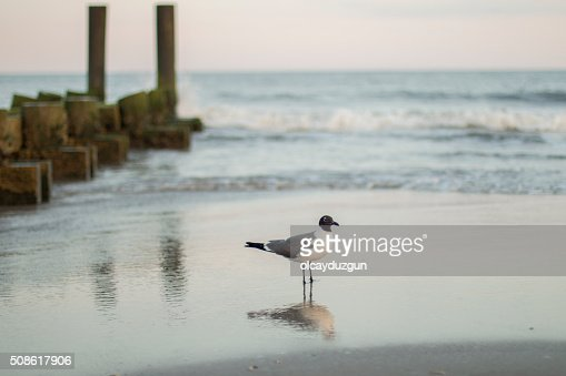 Seagull standing at the beach next to the ruined pier : Stock Photo