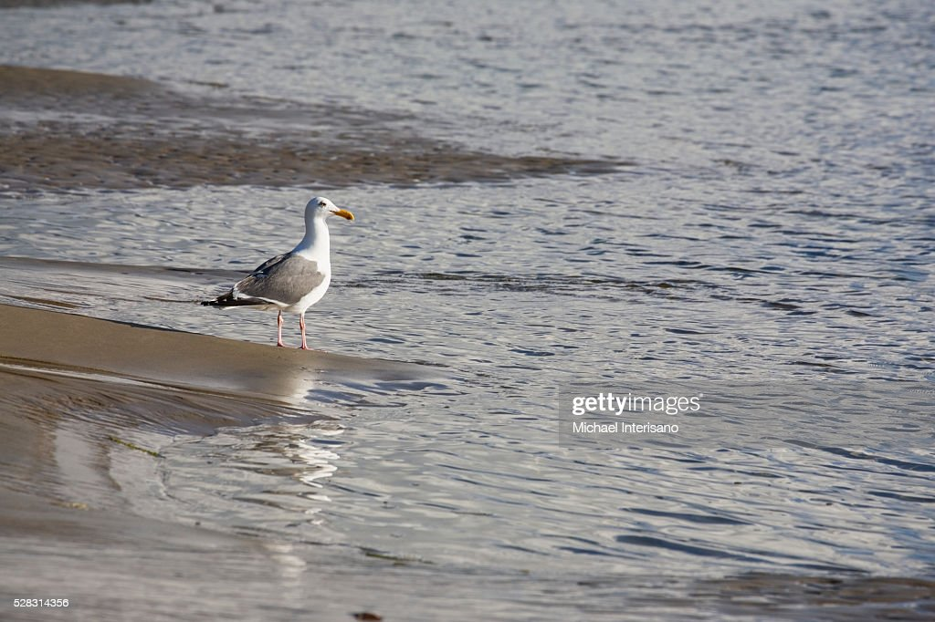 Seagull Standing In The Shallow Water Along The Shoreline Of A Beach; Lincoln City Oregon United States Of America
