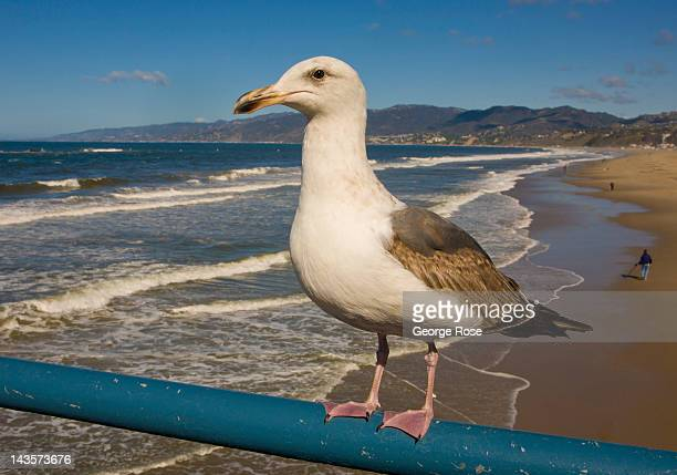 A seagull standing on a Santa Monica Pier railing begs for food on April 14 2012 in Santa Monica California Millions of tourists flock to the Los...
