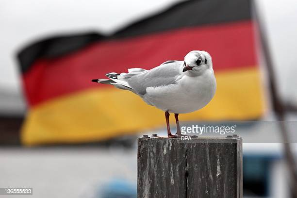 A seagull stands on a bitt in front of the German flag at the pier in Hamburg northern Germany on January 7 2012 Meteorologists forecast ongoing...