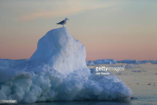 A seagull stands on an iceberg that broke off from the Jakobshavn Glacier on July 23 2013 in Ilulissat Greenland As the sea levels around the globe...