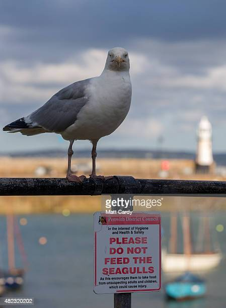 A seagull stands on railings surrounding the harbour at St Ives on July 29 2015 in Cornwall England Recent attacks by herring gulls on people and...