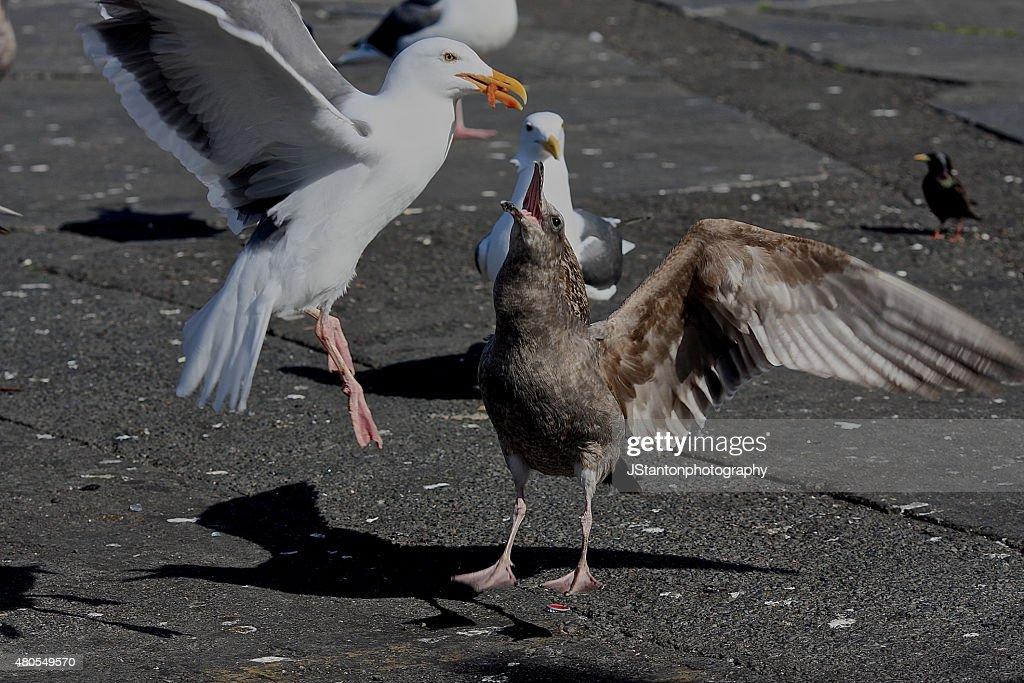 Seagull Thief : Stock Photo