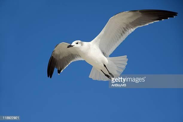 Seagull VIII