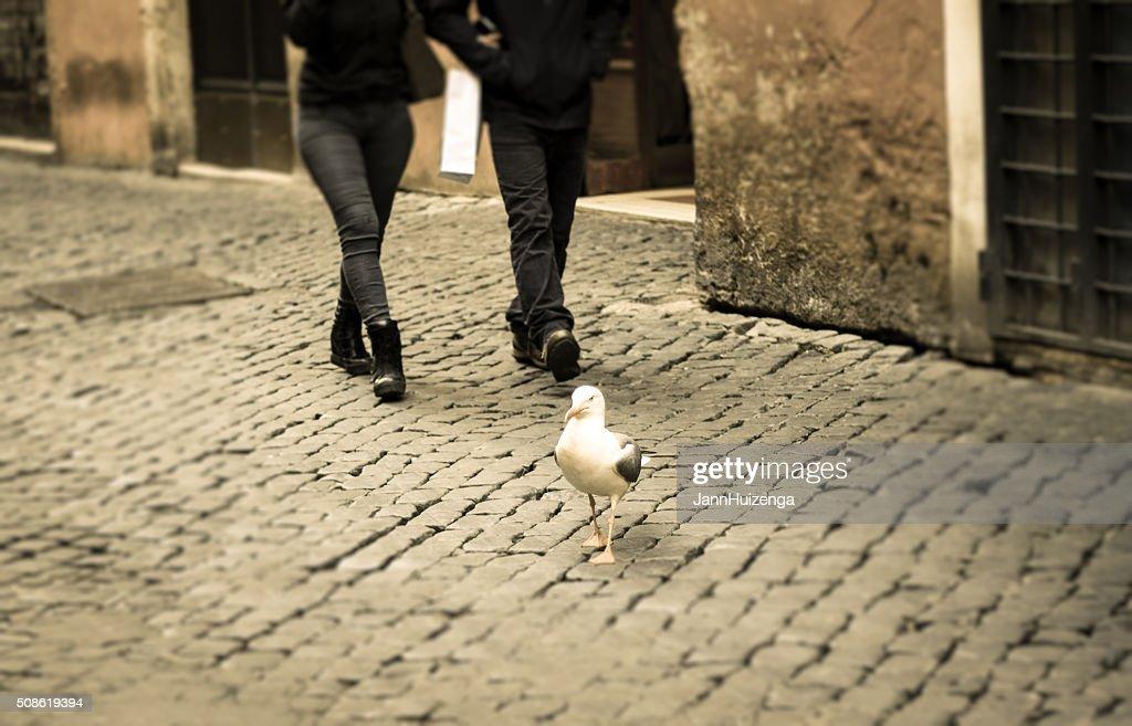 Seagull  Walking on Cobbled Street, Rome : Stock Photo