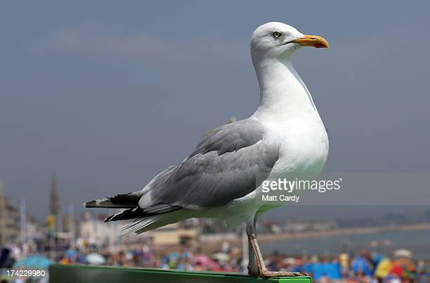 A seagull watches as people crowd onto the beach on July 22 2013 in Weymouth England According to forecasters the current warm fine weather that...