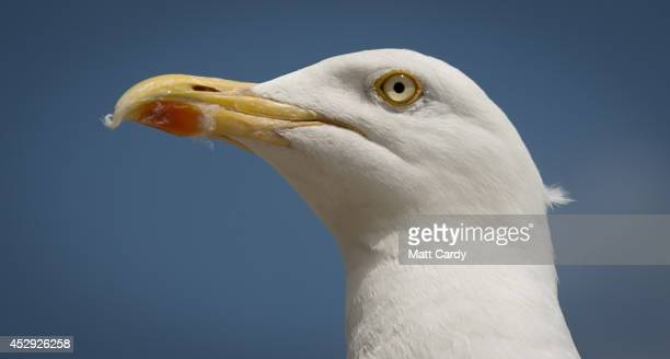 A seagull watches as people gather on the beach as they enjoy the warm weather on the seafront on July 30 2014 in Weymouth England Figures released...