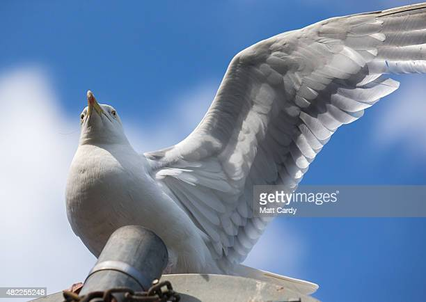 A seagull watches from the top of a sign post at St Ives on July 29 2015 in Cornwall England Recent attacks by herring gulls on people and their pets...