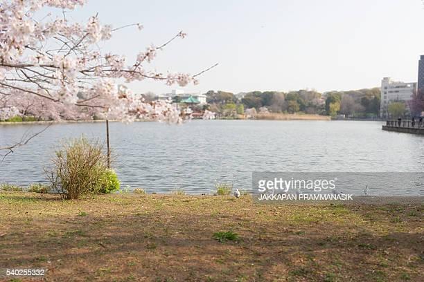 Seagulls and Shinobazu pond