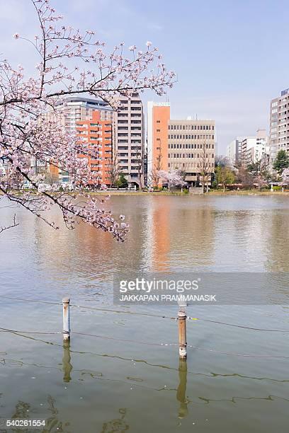 Seagulls and Shinobazu pond with Cherry Blossoms