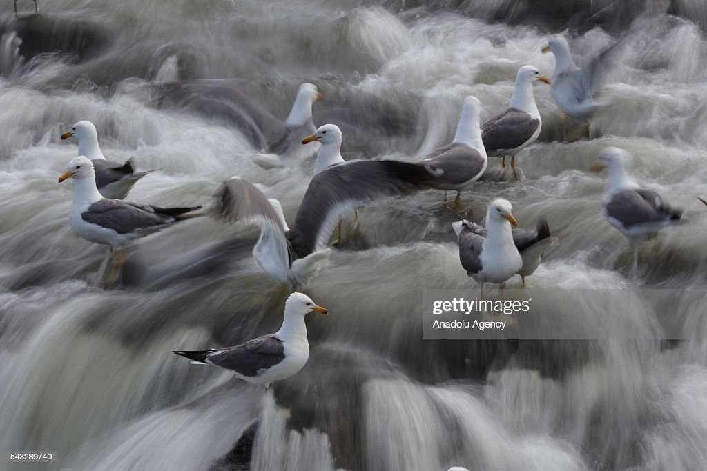 Seagulls are seen at Lake in Turkey's Van province on June 27, 2016. The pearl mullet which live in alkaline, salty water in Lake Van must resist seagulls as they migrate to freshwater. The seagulls that live on the shores of Lake Van feed by hunting the fish migrating to freshwater to breed.
